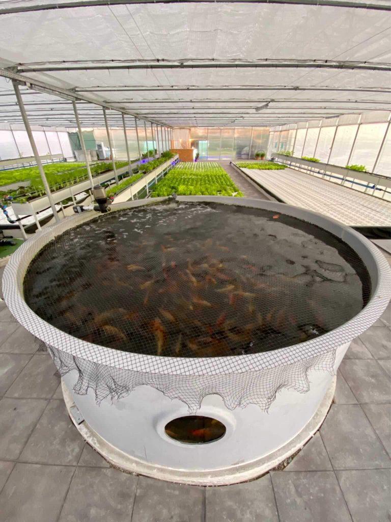 MontVert, azienda agricola acquaponica. Impianto in Friuli Venezia Giulia. Impianto acquaponica, pesci piante, basilico,lattuga, carpe koi. Pompe DWC